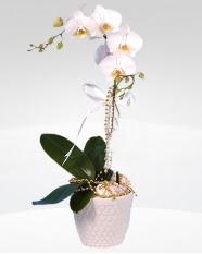 1 dallı orkide saksı çiçeği  Ardahan online çiçekçi , çiçek siparişi