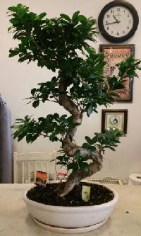 100 cm yüksekliğinde dev bonsai japon ağacı  Ardahan İnternetten çiçek siparişi