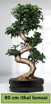 80 cm özel saksıda bonsai bitkisi  Ardahan çiçekçi telefonları