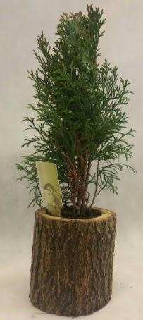 SINIRLI STOK Selvi Bonsai Doğal kütükte  Ardahan İnternetten çiçek siparişi