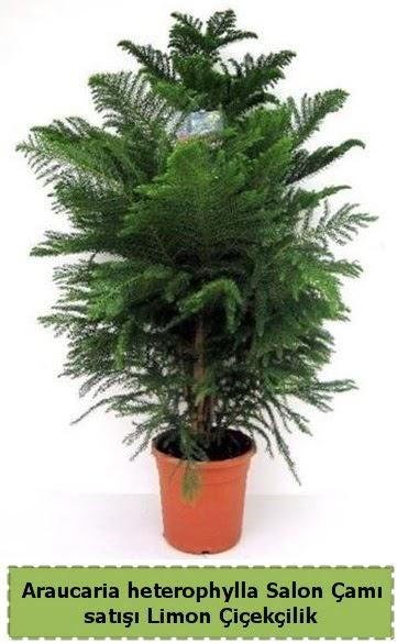 Salon Çamı Satışı Araucaria heterophylla  Ardahan çiçek satışı