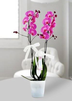 Çift dallı mor orkide  Ardahan çiçekçiler