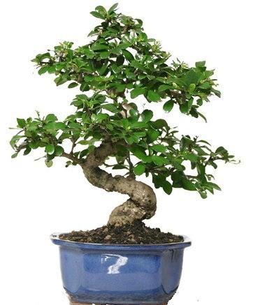 21 ile 25 cm arası özel S bonsai japon ağacı  Ardahan çiçekçi telefonları