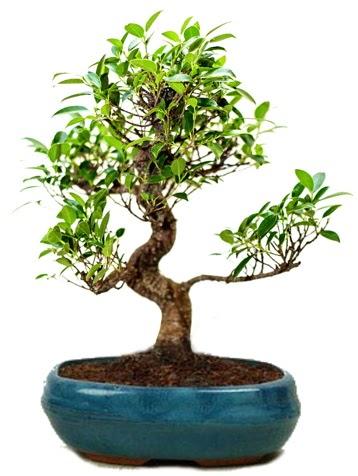 25 cm ile 30 cm aralığında Ficus S bonsai  Ardahan çiçek gönderme sitemiz güvenlidir