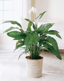 Ardahan online çiçek gönderme sipariş  spatilyum ithal büyük boy