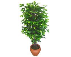 Ficus Benjamin 1,50 cm   Ardahan anneler günü çiçek yolla
