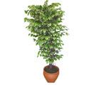 Ficus özel Starlight 1,75 cm   Ardahan cicek , cicekci