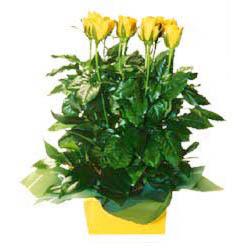 11 adet sari gül aranjmani  Ardahan online çiçekçi , çiçek siparişi