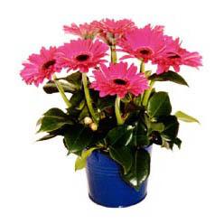 vazo içerisinde gerbera çiçekleri   Ardahan online çiçek gönderme sipariş