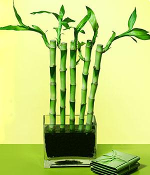Ardahan anneler günü çiçek yolla  Good Harmony Lucky Bamboo camda