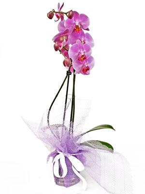 Ardahan anneler günü çiçek yolla  Kaliteli ithal saksida orkide