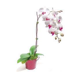Ardahan çiçek gönderme  Saksida orkide