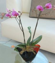 Ardahan çiçekçi mağazası  tek dal ikili orkide saksi çiçegi