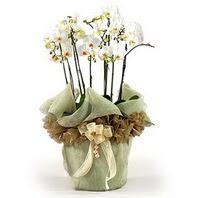 Ardahan çiçek siparişi sitesi  3 dal orkide , saksi çiçegi , 3 kök orkide