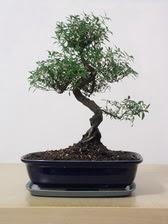 ithal bonsai saksi çiçegi  Ardahan çiçek siparişi vermek