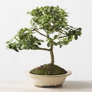 ithal bonsai saksi çiçegi  Ardahan çiçek online çiçek siparişi
