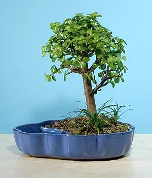 ithal bonsai saksi çiçegi  Ardahan çiçekçiler