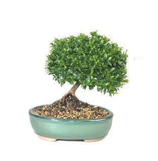ithal bonsai saksi çiçegi  Ardahan cicekciler , cicek siparisi