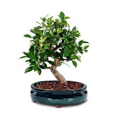 ithal bonsai saksi çiçegi  Ardahan çiçek siparişi sitesi
