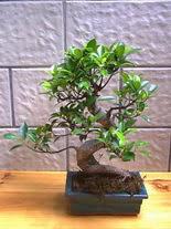 ithal bonsai saksi çiçegi  Ardahan hediye sevgilime hediye çiçek