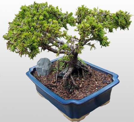 ithal bonsai saksi çiçegi  Ardahan çiçekçi mağazası