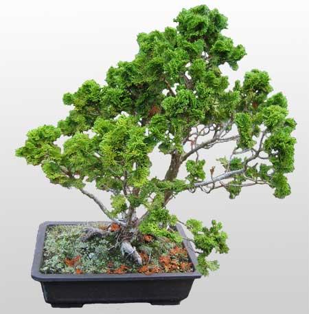 ithal bonsai saksi çiçegi  Ardahan İnternetten çiçek siparişi