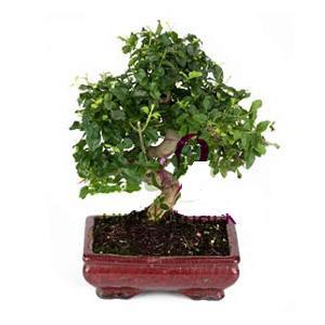 ithal bonsai saksi çiçegi  Ardahan anneler günü çiçek yolla