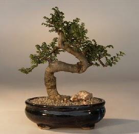 ithal bonsai saksi çiçegi  Ardahan 14 şubat sevgililer günü çiçek