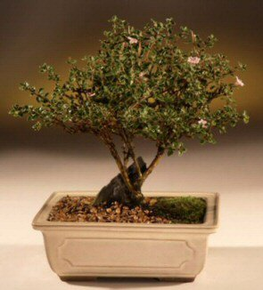 ithal bonsai saksi çiçegi  Ardahan çiçek mağazası , çiçekçi adresleri