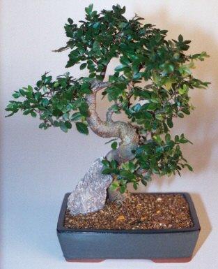 Ardahan çiçek gönderme sitemiz güvenlidir  ithal bonsai saksi çiçegi  Ardahan çiçek siparişi sitesi