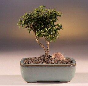 Ardahan çiçek yolla  ithal bonsai saksi çiçegi  Ardahan internetten çiçek satışı