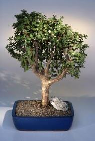 Ardahan çiçek gönderme  ithal bonsai saksi çiçegi  Ardahan çiçekçiler