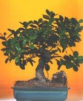Ardahan çiçekçi telefonları  ithal bonsai saksi çiçegi  Ardahan internetten çiçek siparişi