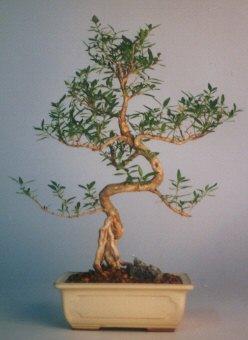 Ardahan çiçek satışı  ithal bonsai saksi çiçegi  Ardahan çiçek siparişi vermek