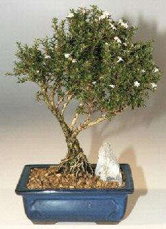 Ardahan çiçek , çiçekçi , çiçekçilik  ithal bonsai saksi çiçegi  Ardahan online çiçek gönderme sipariş