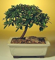 Ardahan ucuz çiçek gönder  ithal bonsai saksi çiçegi  Ardahan cicek , cicekci