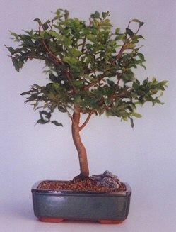 Ardahan ucuz çiçek gönder  ithal bonsai saksi çiçegi  Ardahan anneler günü çiçek yolla