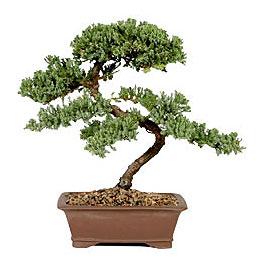 ithal bonsai saksi çiçegi  Ardahan çiçek gönderme sitemiz güvenlidir