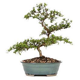 Ardahan İnternetten çiçek siparişi  ithal bonsai saksi çiçegi  Ardahan çiçek gönderme sitemiz güvenlidir