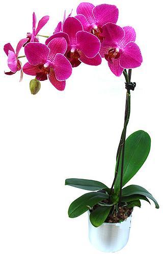 Ardahan çiçekçi mağazası  saksi orkide çiçegi