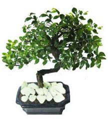 9 yasinda Bonsai agaci  Ardahan yurtiçi ve yurtdışı çiçek siparişi
