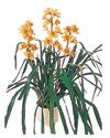 Ardahan çiçekçiler  Orchiede ithal büyük boy saksi