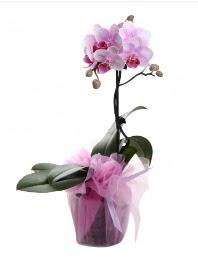 1 dal pembe orkide saksı çiçeği  Ardahan kaliteli taze ve ucuz çiçekler