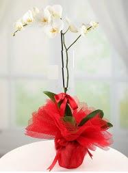 1 dal beyaz orkide saksı çiçeği  Ardahan yurtiçi ve yurtdışı çiçek siparişi