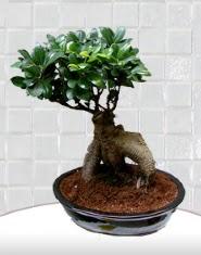 saksı çiçeği japon ağacı bonsai  Ardahan kaliteli taze ve ucuz çiçekler