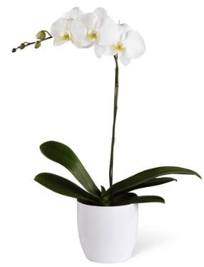 1 dallı beyaz orkide  Ardahan 14 şubat sevgililer günü çiçek