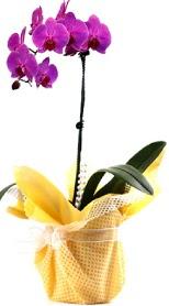 Ardahan çiçek siparişi sitesi  Tek dal mor orkide saksı çiçeği