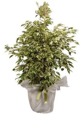 Orta boy alaca benjamin bitkisi  Ardahan internetten çiçek satışı