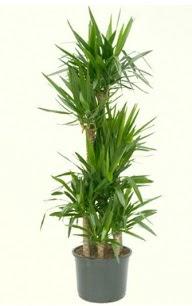 7 li yucca saksı bitkisi  Ardahan çiçek servisi , çiçekçi adresleri