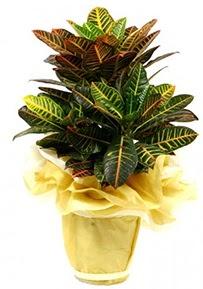 Orta boy kraton saksı çiçeği  Ardahan 14 şubat sevgililer günü çiçek